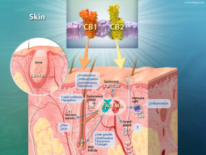 CB1-CB2_skin