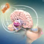 CB1 receptorok az agyban