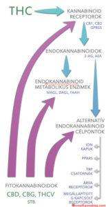 Cannabinoids and cannabinoid receptors - HUN
