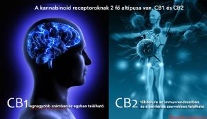 cannabinoid-receptors - HUN