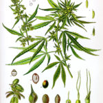 Cannabis; extracting the medicine