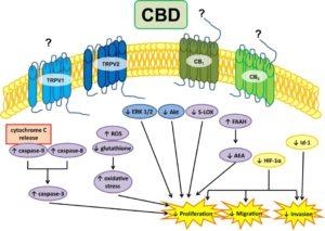 CBD - Glioma