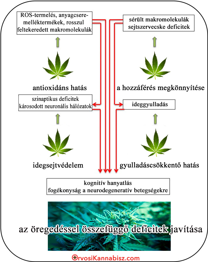Progression of brain aging and cannabis - HUN
